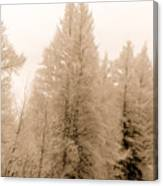 White Pines Canvas Print