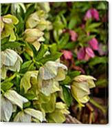 White/pink Lenten Roses Canvas Print