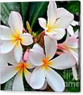White Plumeria - 1 Canvas Print