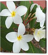 White Plumeria Canvas Print