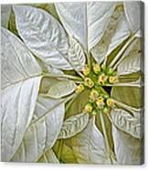 White Poinsettia Canvas Print