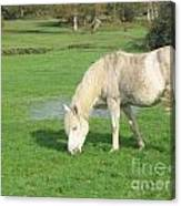 White Pony On The Moors Canvas Print