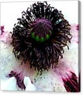 White Poppy Macro Canvas Print
