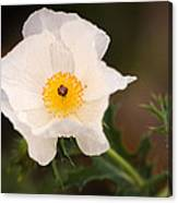 White Prickly Poppy Canvas Print