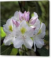 White Rhododendren Canvas Print