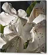 White Rhododendron B Canvas Print