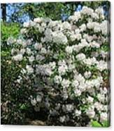 White Rhododendron Blooming In The Garden Canvas Print
