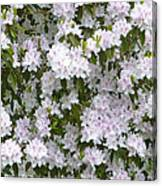 White Rhododendron Blossoms Canvas Print
