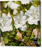 White Rhododendron Flowers In Bloom. Canvas Print