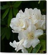 White Rhododendron With Tears Canvas Print