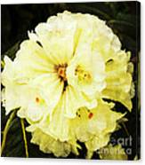 White Rhododendrons Canvas Print