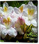White Rhododendron In Sunlight Canvas Print
