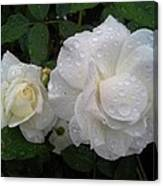 White Rose And Raindrops Canvas Print