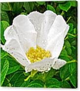 White Rose At Norris Point In Gros Morne National Park-newfoundland  Canvas Print