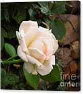 White Rose Green Oleo Canvas Print