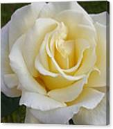 White Rose Named Ray Of Sun Canvas Print