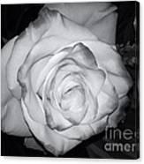 White Rose Passion Impression Canvas Print