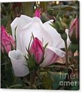 White Rose Pink Buds Canvas Print