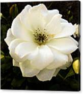 White Rose With Buds Canvas Print
