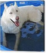 White Siberian Husky In Pool Canvas Print