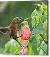 White-sided Flowerpiercer Canvas Print
