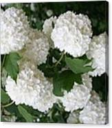 White Snowball Bush Canvas Print
