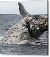 White Southern Right Whale Breaching Canvas Print