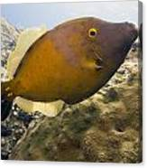White Spotted Filefish Canvas Print
