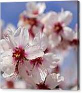 White Spring Almond Flowers Canvas Print