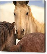 White Stallion Wild Horses On Navajo Indian Reservation  Canvas Print