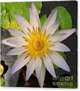 White Star Lotus Canvas Print