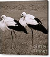White Storks Canvas Print