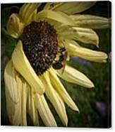 White Sunflower And Bee Canvas Print