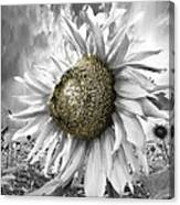 White Sunflower Canvas Print