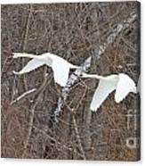 White Swans In Flight 1589 Canvas Print