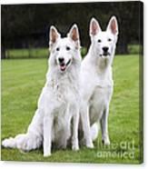 White Swiss Shepherd Dogs Canvas Print