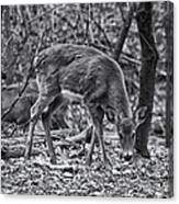 White-tail Deer Canvas Print