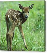 White-tailed Deer Fawn Meadow Canvas Print