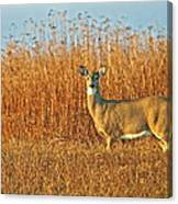 White Tailed Deer In Morning Light Canvas Print