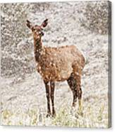 White Tailed Deer In Snow Canvas Print