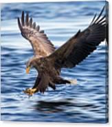 White-tailed Eagle Canvas Print