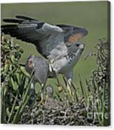 White-tailed Hawks At Nest Canvas Print