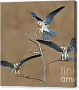 White-tailed Kite Young Canvas Print