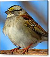 White Throated Sparrow And Blue Sky Canvas Print