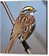 White-throated Sparrow Pictures 108 Canvas Print