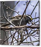 White-throated Sparrow With Berry Canvas Print
