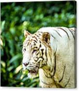 White Tiger Portriat Canvas Print