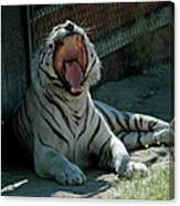 White Tiger Reno Nv 3 Canvas Print