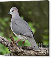 White-tipped Dove Canvas Print