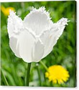 White Tulip On The Green Background Canvas Print